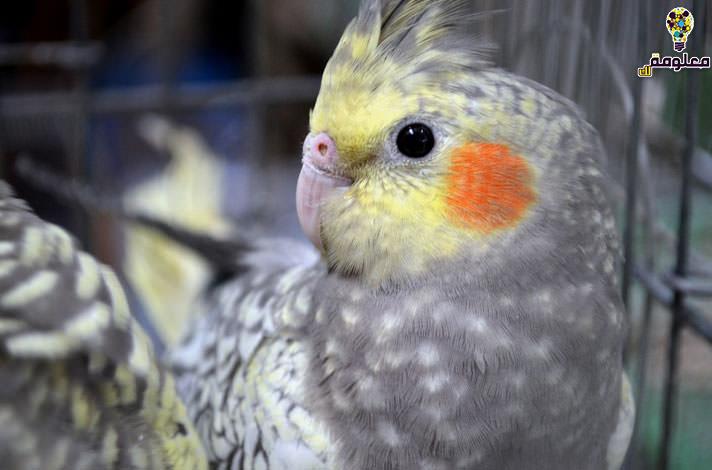 أشهر أنواع الطيور الأليفة 2021 بالصور