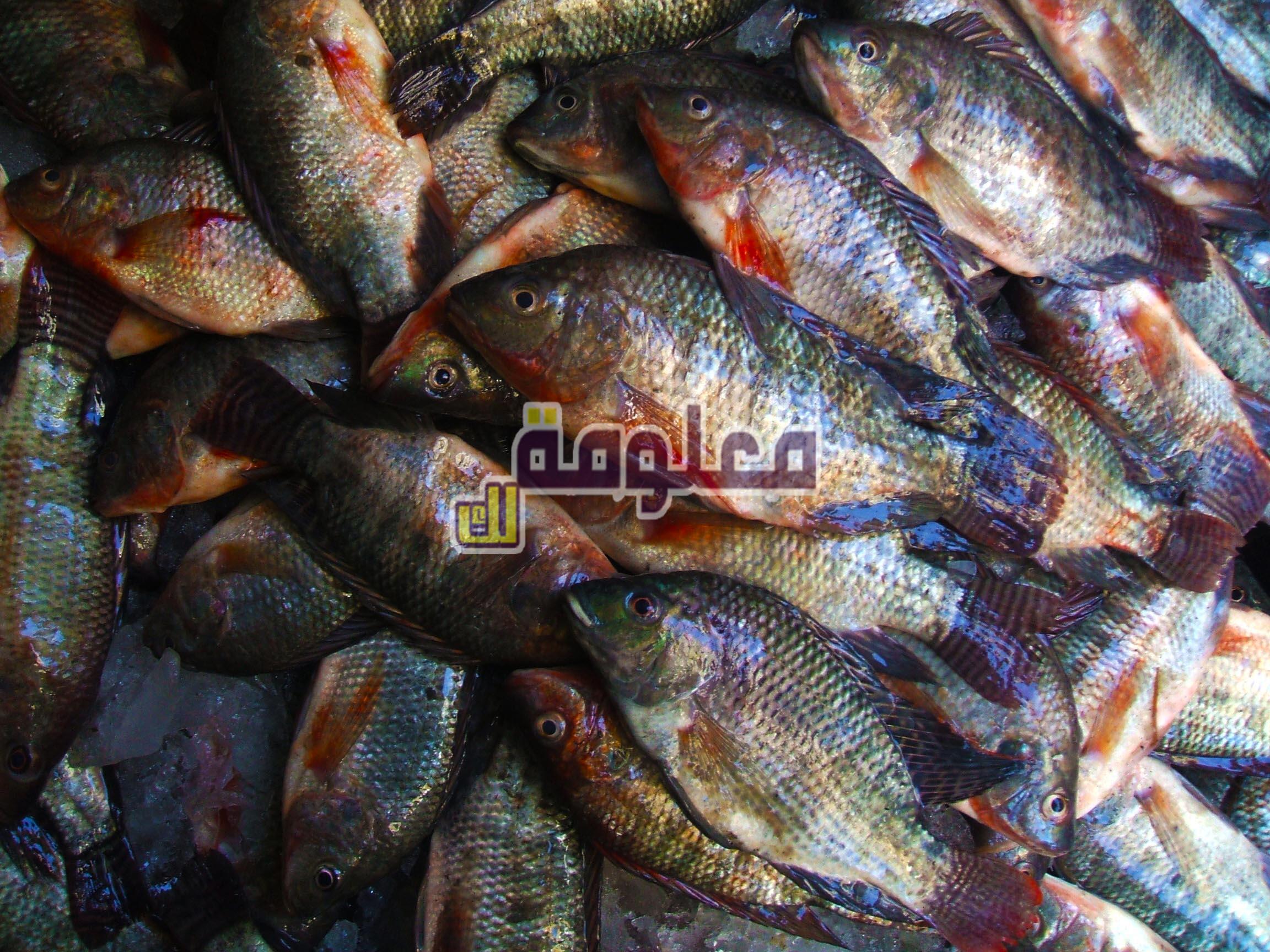 تفسير حلم رؤية سمك البلطي في المنام