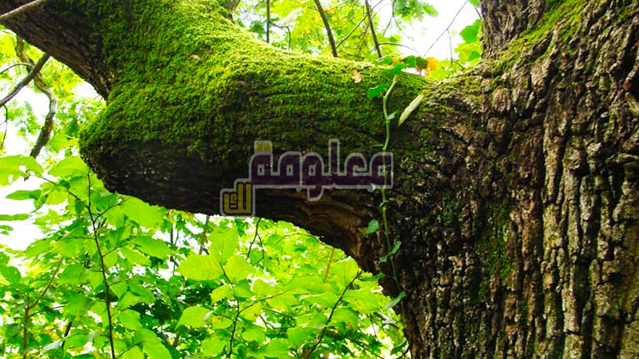 تفسير حلم رؤية شجرة الأبنوس في المنام 2021
