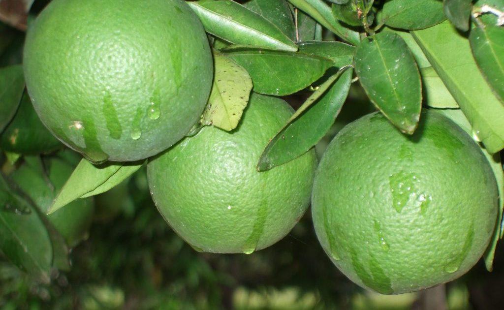 فوائد البرتقال الاخضر للحامل