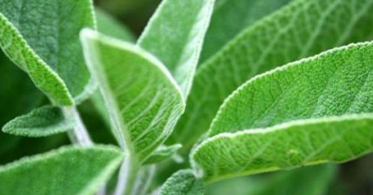 فوائد نبتة الميرمية